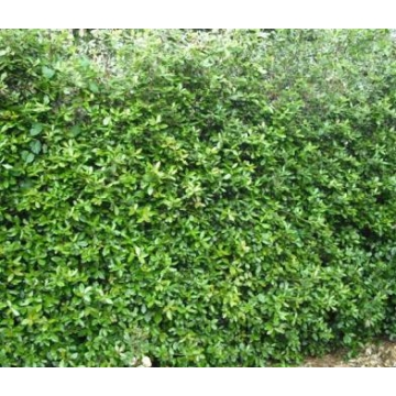 Ilex crenata'Green Hedge'