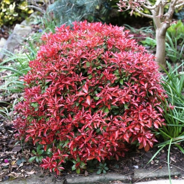 Pieris japonica'Mountain Fire'