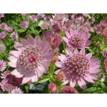 Astrantia major'Lola'