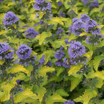 Caryopteris clandonensis'Hint of Gold'