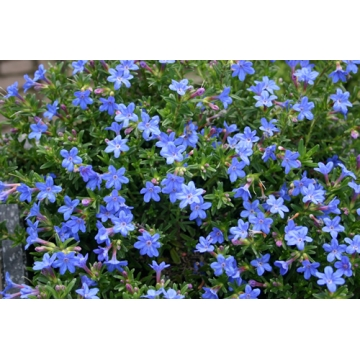 Lithodora diffusa'Heavenly Blue'