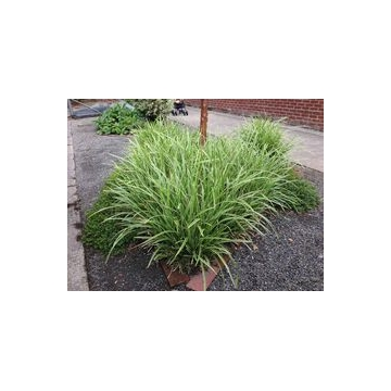 Carex morrowii'Vanilla Ice'