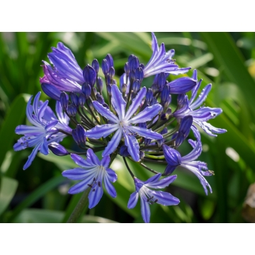 Agapanthus'Moonlight Star'