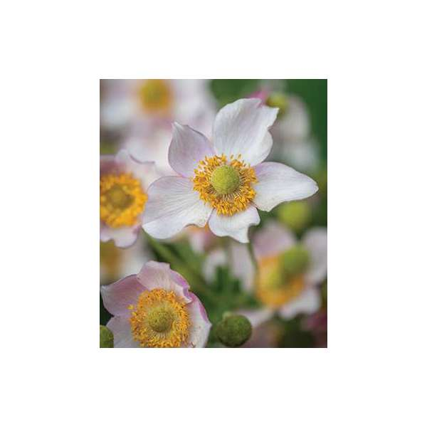 Anemone hybrid'Leather and Lace'