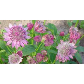 Astrantia major'Pink Pride'