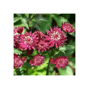 Astrantia major'Ruby Star'