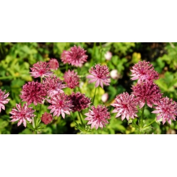 Astrantia major'Star of Treasure'