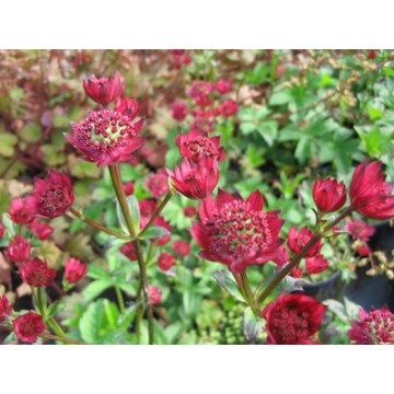 Astrantia major'Claret'