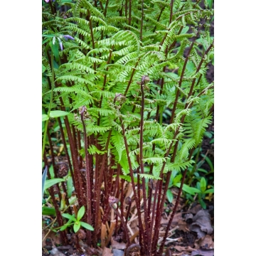 Athyrium filix=femina'Lady in Red'