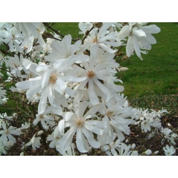 Magnolia stellata'Royal Star'