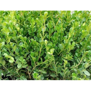 Buxus microphylla'Faulkner'