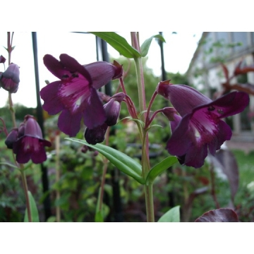 Penstemon'Blackbird'