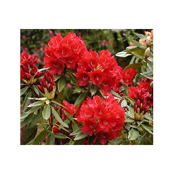 Rhododendron'David'