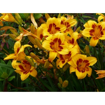 Hemerocallis'Black Eyed Susan'