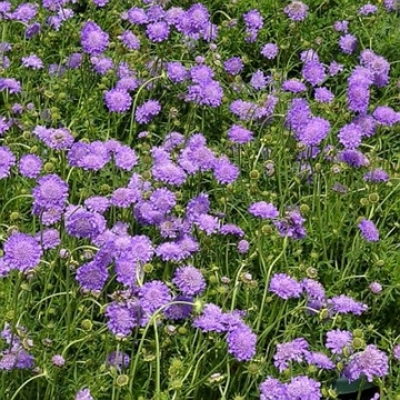 Scabiosa columbaria'Butterfly blue'