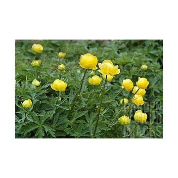 Trollius'Lemon Queen'