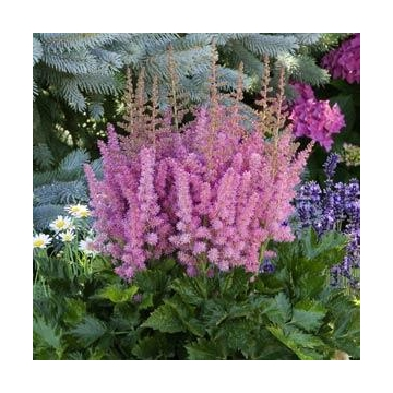 Astilbe chinensis'Little Vision in Pink'