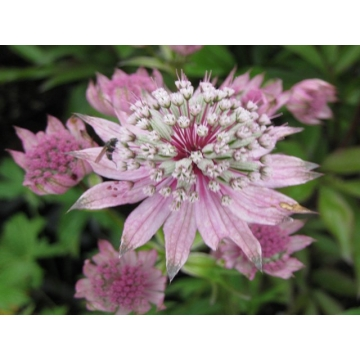 Astrantia major'Pink Penny'