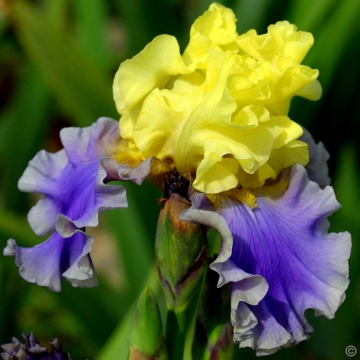 Iris germanica'Edith Woolford'