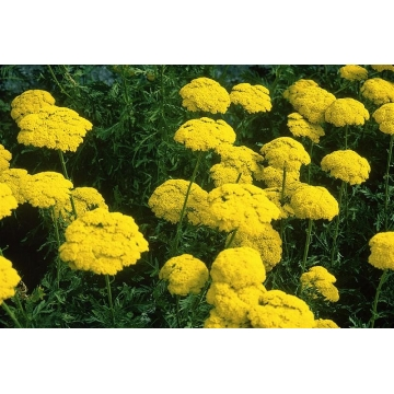 Achillea filipendula'cloth of Gold'