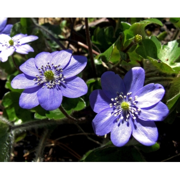 Hepatica transylvanica'Blue Eyes'