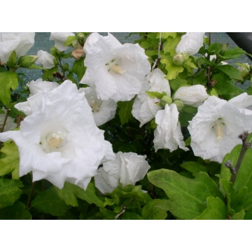 Hibiscus syriacus'William R.Smith'