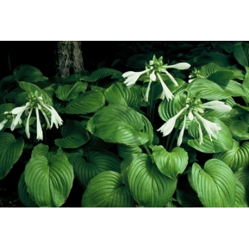 Hosta plantaginea'Grandiflora'