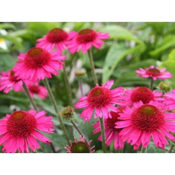 Echinacea'Delicious Candy'