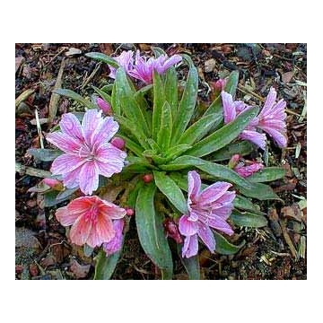 Lewisia cotyledon'Little Plum'