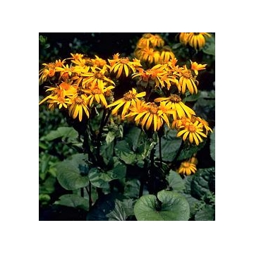 Ligularia dentata'Ohtello'