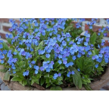 Omphalodes cappadocica'Cherry Ingram'