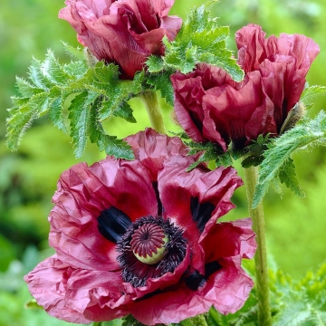 Papaver orientale'Patty's Plum'