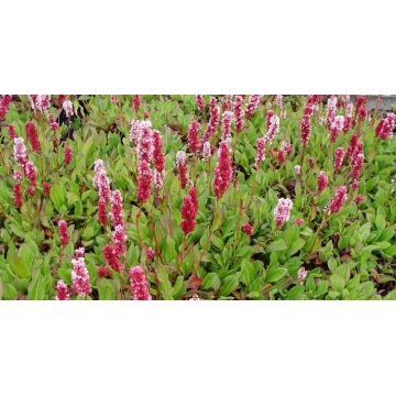 Persicaria affinis'Kabouter'
