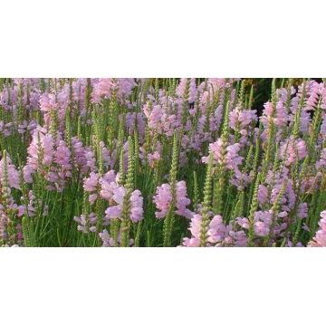 Physostegia virginiana'Bouquet Rose'
