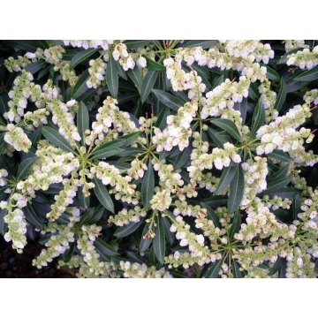 Pieris japonica'Purity'