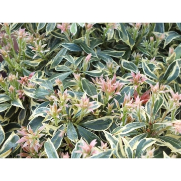 Pieris japonica'White Rim'