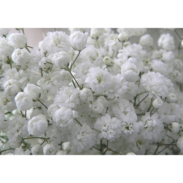 Gypsophila'New Love'