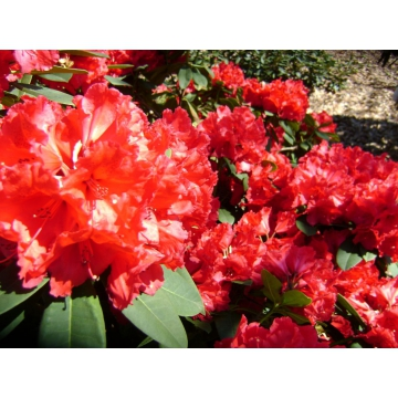 Rhododendron'Lord Roberts'