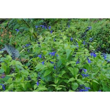 Salvia guaranitica'Black and Blue'