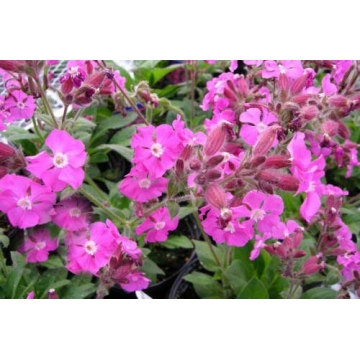 Silene'Rolly's Favourite'