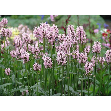 Stachys officinalis'Pinky'