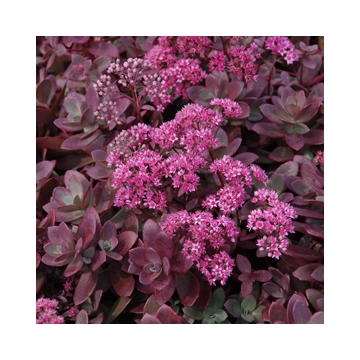 Sedum'Sunsparkler Firecracker'