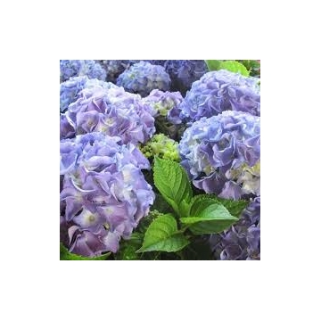 Hydrangea macrophylla'Early Blue'