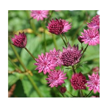 Astrantia major'Washfield'