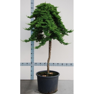 Juniperus (Jeneverbes)