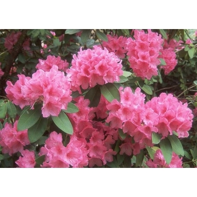 Rhododendron bloem rose