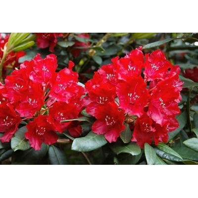 Rhododendron bloem rood